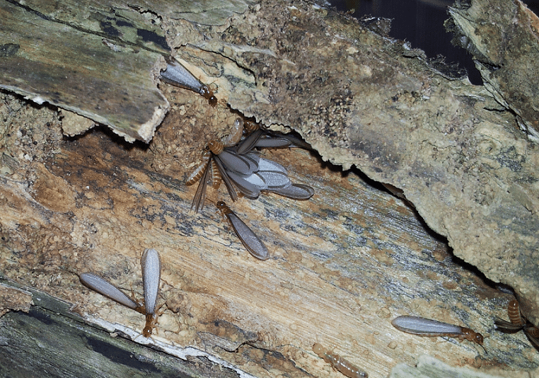 Flying termites emerging from their nest.